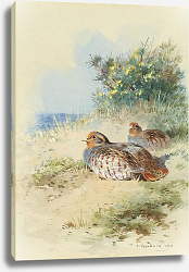 Постер A brace of grey partridges