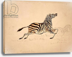 Постер Бэйнс Томас Full striped Quagga mare, presumably an undescribed variety, shot 20 or so miles south of the Zambesi, sketch from Rothschild bequest 1