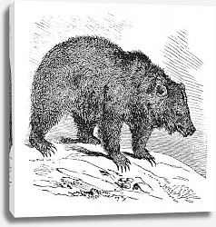 Постер JACK Bear (Ursus horribilis), vintage engraving