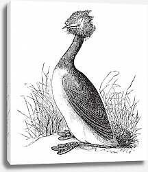 Постер Great Crested Grebe or Podiceps cristatus vintage engraving
