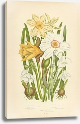 Постер Common Daffodil, The Poets Narcissus, Pale n., Snowdrop, Summer Snow Flake