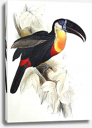 Постер Sulphur and White Breasted Toucan