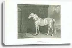 Постер Colonel. One of Her Majestys State Cream-Coloured Horses