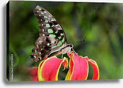 Постер Бабочка Tailed jay, Graphium agamemnon