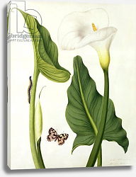Постер Коньерс Джон (бот) Calla Aethiopica with Butterfly and Caterpillar