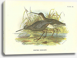 Постер Spotted Redshank