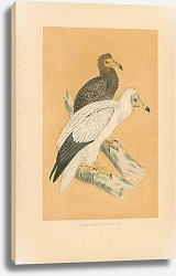 Постер Egyptian Vulture 3