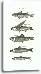Постер Mullet, Flying Fish, Herring, Pilchrd, Anchovy