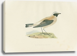 Постер Black-throated Wheatear