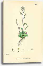 Постер Arabis Stricta. Bristol Rock-cress.