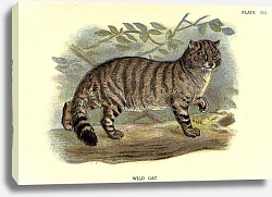 Постер BRITISH MAMMAL WILDCAT 1896