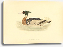 Постер Red-Breasted Merganser