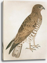 Постер Short-toed Eagle