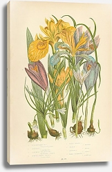 Постер Yello Water Iris, Stinking I., Columnas Trichonema, Purple Spring Crocus, Least Spring c. Golden c.,