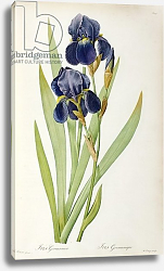 Постер Редюти Пьер Iris Germanica, from `Les Liliacees', 1805