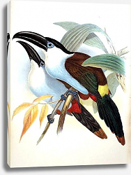 Постер Black-billed Hill Toucan