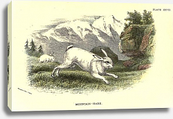 Постер BRITISH MAMMAL 1896 MOUNTAIN HARE