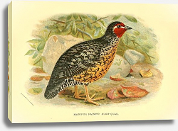 Постер Manipur Painted Bush-Quail
