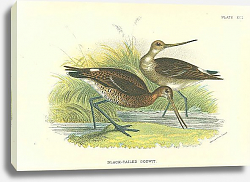 Постер Black-Tailed Godwit