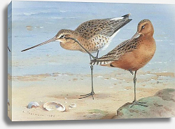 Постер A pair of bar-tailed godwit