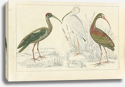 Постер Papillated Ibis, White Ibis, metallic Ibis