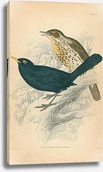Постер Blackbird, song thrush