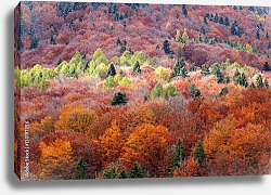 Постер Carpathian forest in autumn