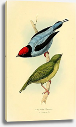 Постер Long-tailed Manakin