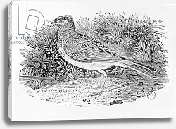 Постер Бевик Томас The Skylark from the 'History of British Birds' Volume I, pub. 1797