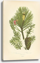 Постер Scotch Pine, Juniper, Yew