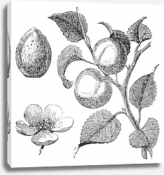 Постер Apricot flower, tree and kernel old engraved illustration