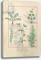 Постер Тестард Робинет (бот) Ms Fr. Fv VI #1 fol.135v Illustration from 'The Book of Simple Medicines'