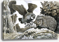 Постер Бэкхаус Д. (совр) Unidentified bird attacking a hedgehog