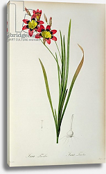 Постер Редюти Пьер Ixia Tricolor, from `Les Liliacees', 1805