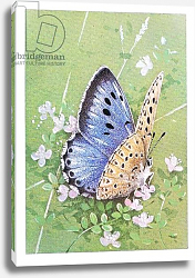Постер Бенингфилд Гордон (1936-98) Large Blue Butterfly, from Beningfield's Butterflies pub.by Chatto & Windus, 1978