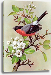 Постер British Birds - Bullfinch