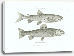 Постер Salvelin Trout, Alpine Trout 2