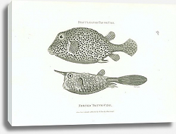 Постер Biaculeated Trunk-fish, Hornet Trunk-fish