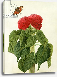 Постер Коньерс Джон (бот) Celosia Argentea Cristata and Butterfly