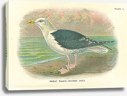 Постер Great Black-Backed Gull 2