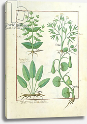 Постер Тестард Робинет (бот) Ms Fr. Fv VI #1 fol.122r Euphorbia Lathyris, Beechwort, Mint and Fig, c.1470