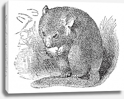 Постер Hazel Dormouse or Muscardinus avellanarius vintage engraving