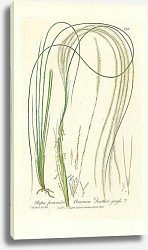 Постер Stipa pennata. Common Feather grass