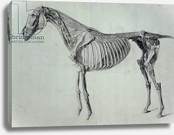 Постер Стаббс Джордж Finished Study for the Fifth Anatomical Table of a Horse