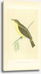 Постер Melodious Willow Warbler