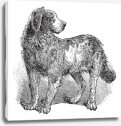 Постер Newfoundland or Canis lupus familiaris vintage engraving