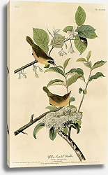 Постер Yellow-breasted Warbler