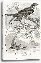 Постер Wire-tailed Swallow old illustration (Hirundo smithii). Created by Kretschmer, published on Merveill