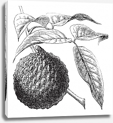 Постер Lychee or Litchi chinensis vintage engraving