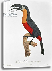 Постер Барранд Жак (птицы) Toucan: Great Red-Bellied by Jacques Barraband